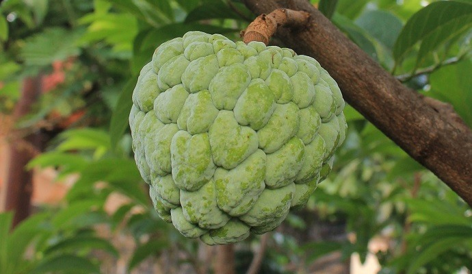 Cherimoya exotic fruit