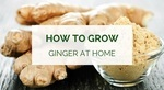 How to grow ginger at home (indoors and outdoors)