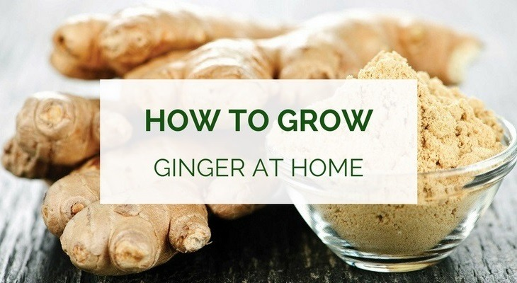 How to grow ginger at home - indoors and outdoors