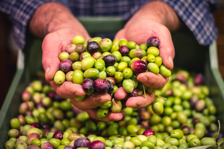 Freshly picked raw olives