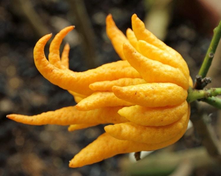 Buddha's hand is a unique citrus fruit