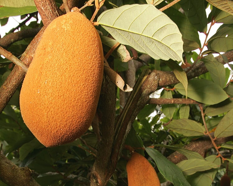 Cupuaçu fruit