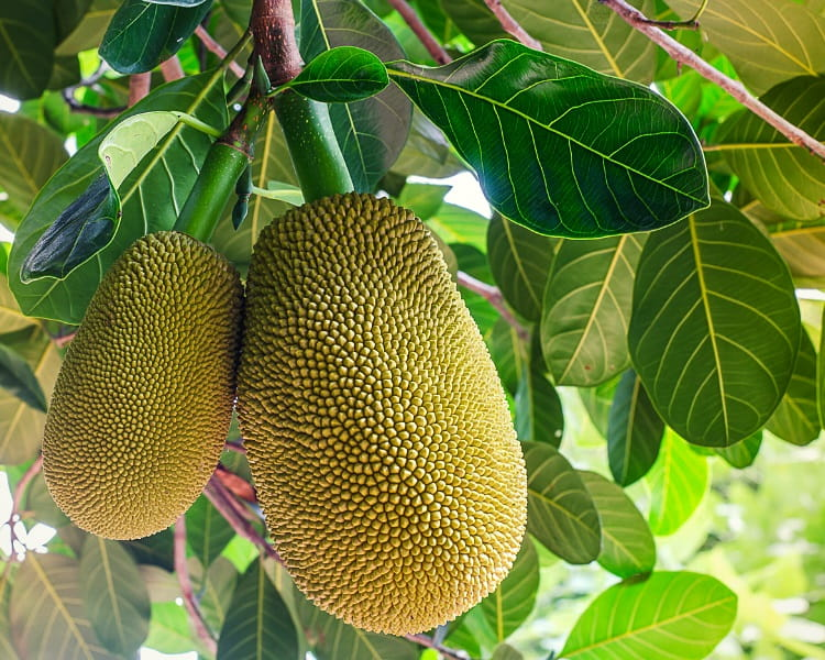 The unique jackfruit