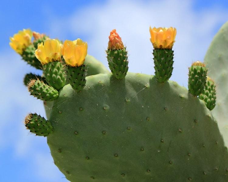 Nopal cactus flower