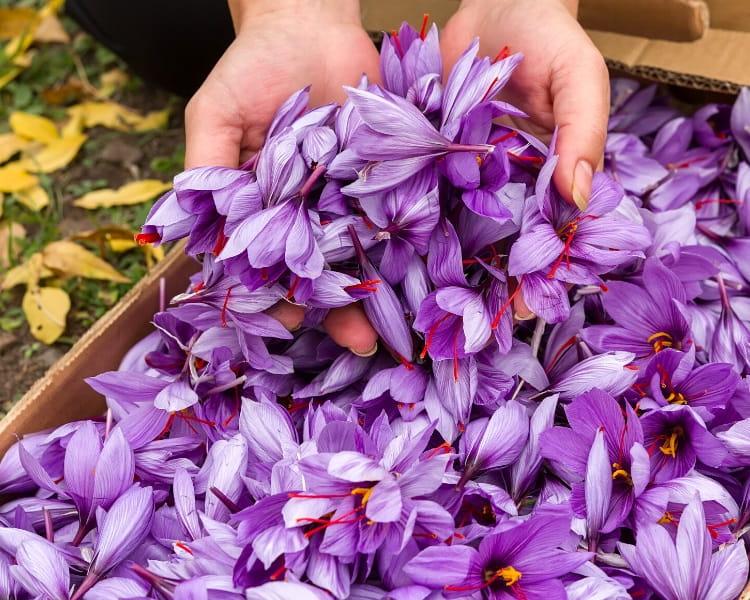 Saffron flowers after harvest