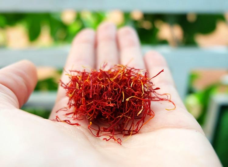 Saffron stigmas in hand