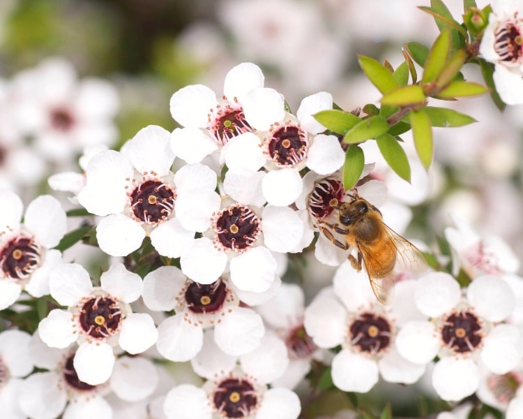 Bee on Manuka flowers