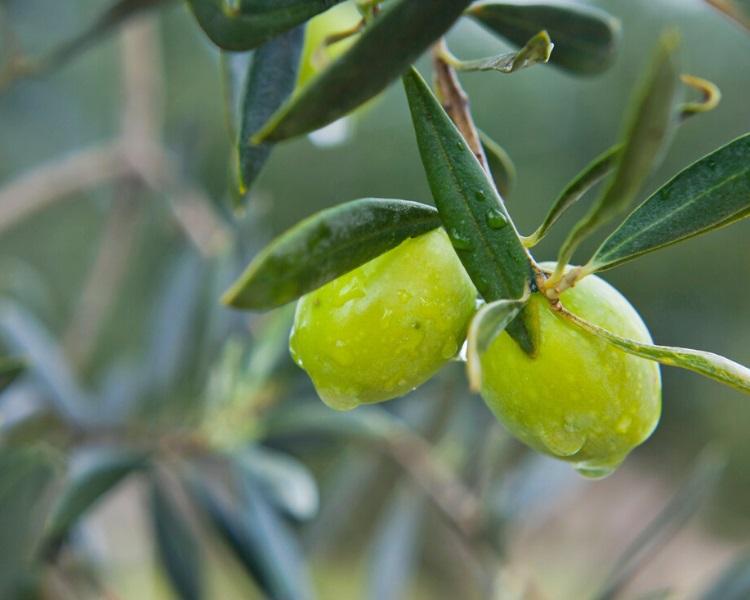 Castelvetrano olive tree