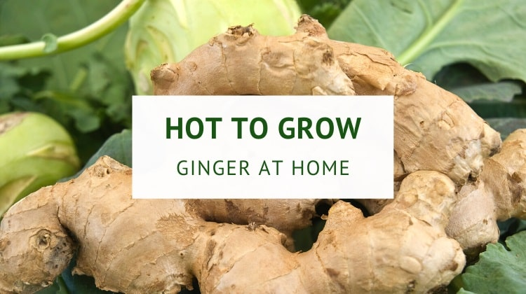 How to grow ginger at home