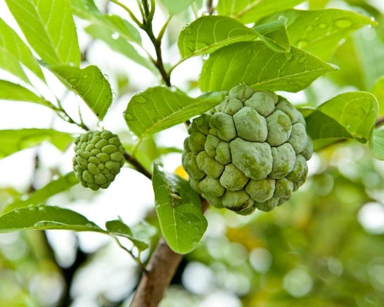 Cherimoya fruit on tree