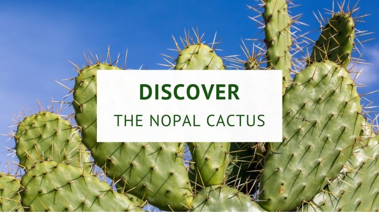 What are nopales? (history, origin, nutrition and benefits)
